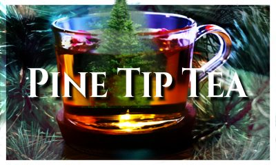 Pine Tip Tea, Great Bear Trail, Naturopathic, Homeopathic Remedies